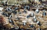 Muschel-Lochbecherchen-Ostropa barbara