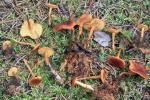 Dottergelber Schönkopf-Calocybe chrysenteron