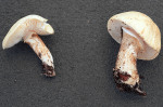 Fleckender Schmierschirmling-Chamaemyces fracidus