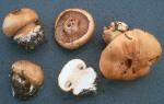 Vergrabener Klumpfuss-Cortinarius corrosus