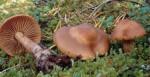 :-Cortinarius neofurvolaesus