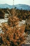 :-Rhabdocline pseudotsugae