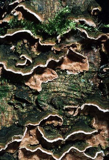 Tannen-Schichtpilz-Amylostereum chailletii