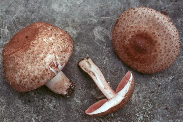 Dunkelfaseriger Egerling-Agaricus fuscofibrillosus