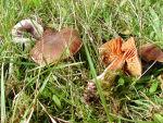 Orangefuchsiger Rauhkopf-Cortinarius orellanus