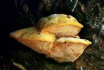 Safrangelber Saftporling-Aurantioporus croceus