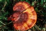 Glänzender Lackporling-Ganoderma lucidum