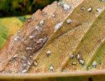 Kirsch-Sprühfleckenkrankheit-Blumeriella jaapii