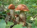 Eichenrotkappe-Leccinum quercinum