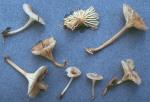 Gelbblättriges Nabeltrichterchen-Gerronema xanthophyllum