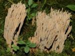 Feinstachelige Koralle-Ramaria spinulosa