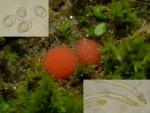 :-Octospora rustica