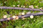 Ockergelber Stromabecherling-Lanzia luteovirescens