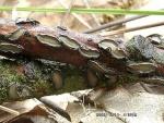 Eingesenkter Eichenrindenpilz-Colpoma quercinum