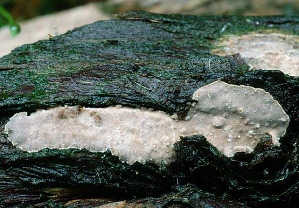Wacholder-Schichtpilz-Amylostereum laevigatum