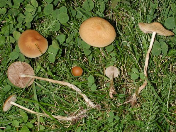 Geschwänzter Ackerling-Agrocybe arvalis