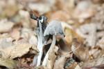 Grauer Faltentintling-Coprinopsis atramentaria