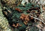 Beerenstrauchporling-Phylloporia ribis