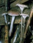 Schilfhelmling-Mycena belliae