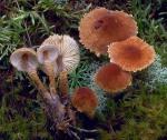 Rostroter Körnchenschirmling-Cystodermella granulosa
