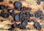 Holz-Weichbecherchen-Mollisia ligni