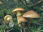 Goldröhrling-Suillus grevillei