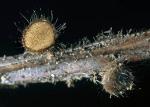 Kiefernnadel-Haarbecherchen-Desmazierella acicola