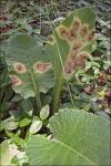 :-Ramularia primulae