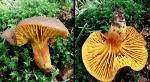 Europäisches Goldblatt-Phylloporus pelletieri
