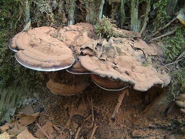 Flacher Lackporling-Ganoderma lipsiense