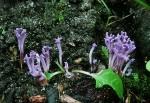 Lilafarbene Wiesenkoralle-Ramariopsis pulchella