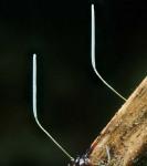 : Typhula-Typhula olivascens