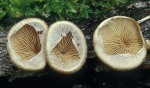 Klebriger Schleierseitling-Tectella patellaris