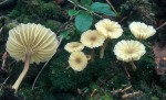Gefalteter Nabeling-Lichenomphalia umbellifera