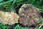 : Becherling-Peziza proteana