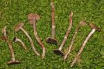 :-Cortinarius flospaludis