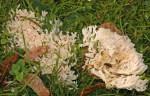 Hellgelbliche Koralle-Ramaria subtilis