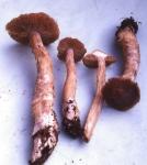 :-Cortinarius craticius