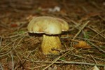 Gemeiner Gallenröhrling-Tylopilus felleus