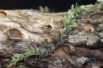 Geissblatt-Lochbecherchen-Karstenia lonicerae