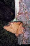 Verfärbender Porenschwamm-Rigidoporus sanguinolentus