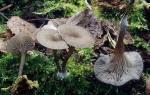 Holznabeling-Arrhenia epichysium