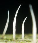Winzige Borstenkoralle-Pterula gracilis