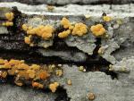 Goldgelbe Traubenbasidie-Botryobasidium aureum