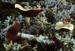 Alpiner Träuschling-Stropharia alpina