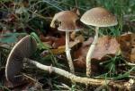 Schuppiger Kahlkopf-Leratiomyces squamosus var. squamosus