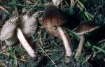Samtiger Dachpilz-Pluteus podospileus