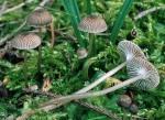 Klebriger Helmling-Mycena vulgaris