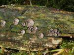 Dichtblättriger Liliputseitling-Resupinatus applicatus
