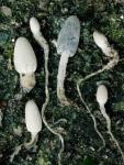 : Tintlinge-Coprinopsis sclerotiger